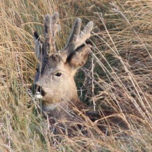 Antlers in velvet