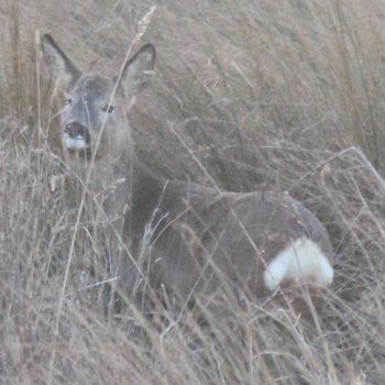 Roe deer in winter coat