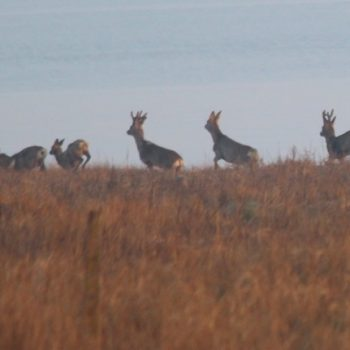 In winter roe deer may group together