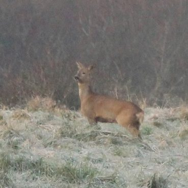 "Winter roe doe with ""tail"""